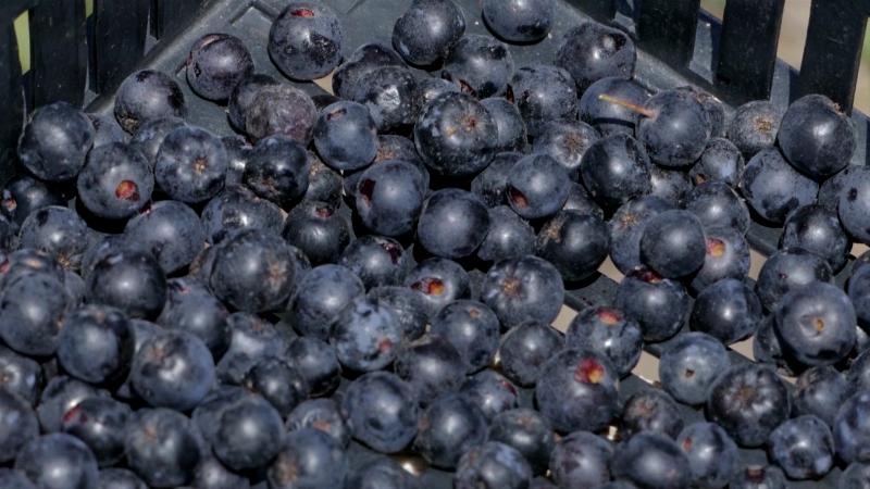 Koliko je isplativ uzgoj aronije?