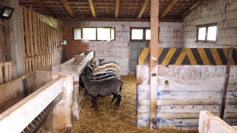Subvencije podstiču ovčarstvo