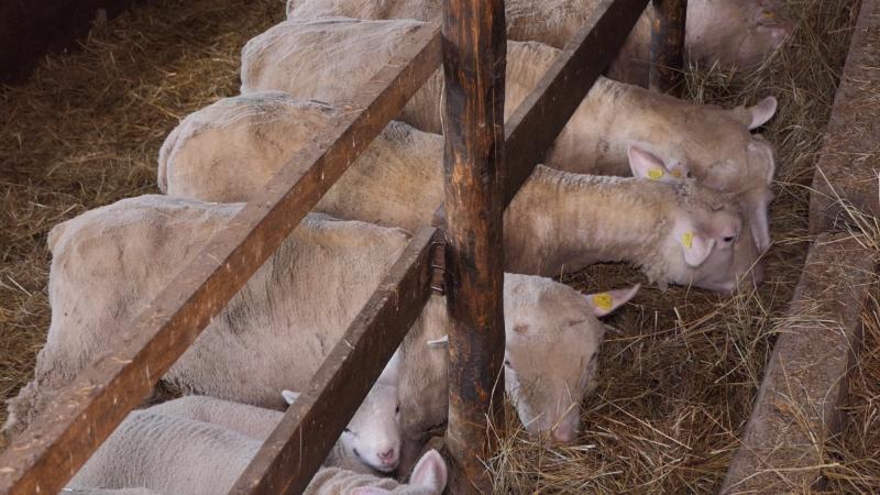 Isplativ uzgoj stada od 50 i više grla