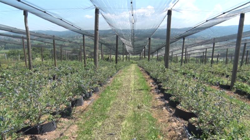 Stabilna cena borovnice privlači potencijalne proizvođače