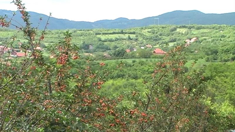 Uskoro počinje berba višanja u jugoistočnoj Srbiji