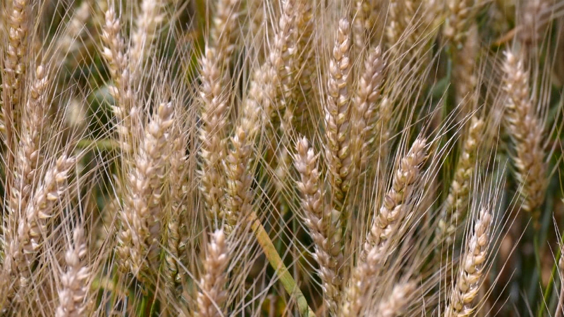 Nezadovoljni poljoprivrednici protestuju zbog cene pšenice