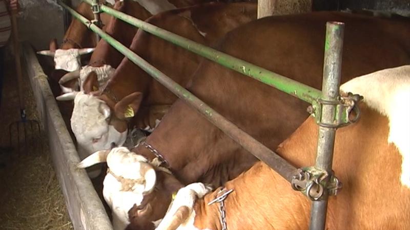Visoko mlečne krave za uspešnu proizvodnju