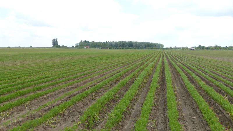 Šargarepa za evropska jela raste u Begeču