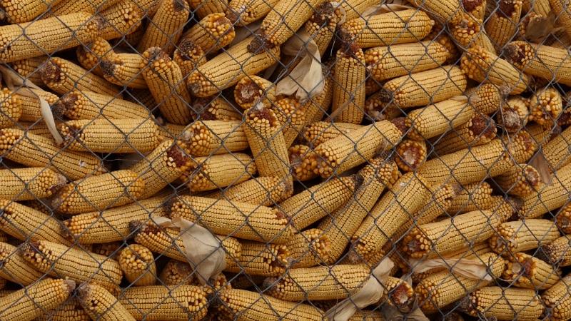 Paritet - 17 kg merkantilnog kukuruza za 1 kg tovne junadi