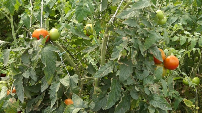 Žele da učestvuju u uzgoju povrća