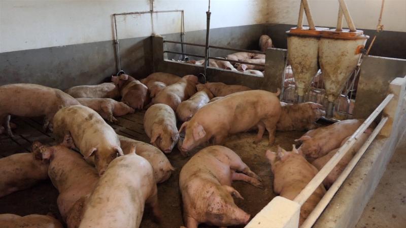 Uzgoj svinja u Srbiji beleži pad