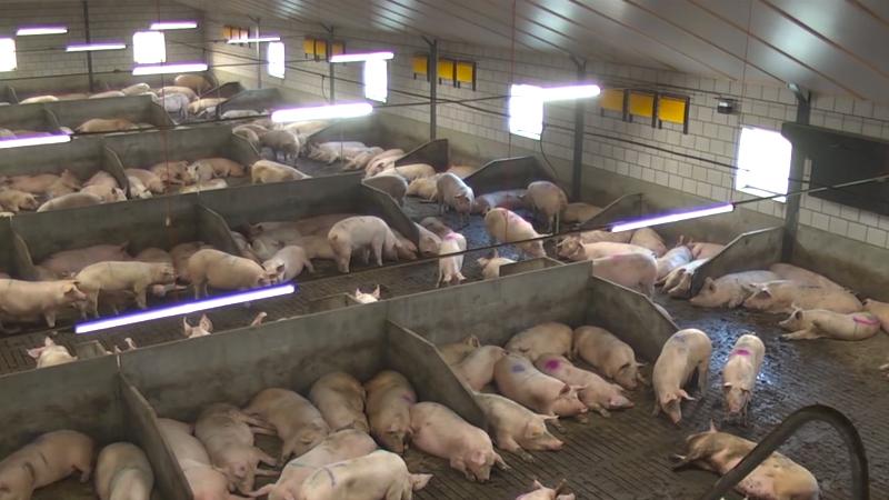 Ukida se vakcinacija protiv svinjske kuge