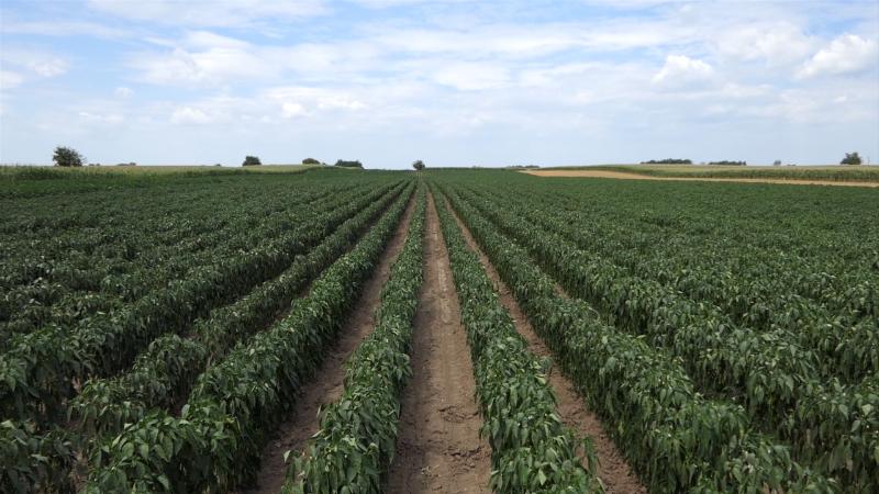 Isplativ uzgoj začinske paprike