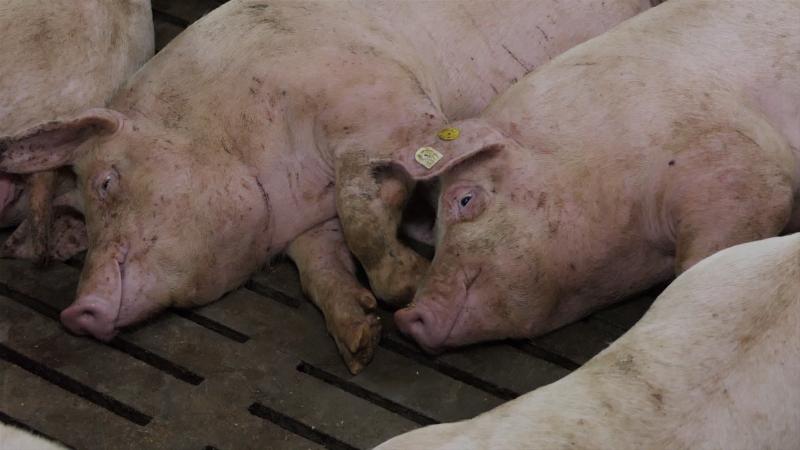 Ukidanje vakcinacije – šansa za izvoz svinjetine u EU