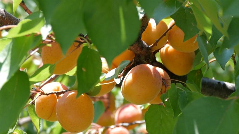 Proizvođači ogorčeni jer im voće propada