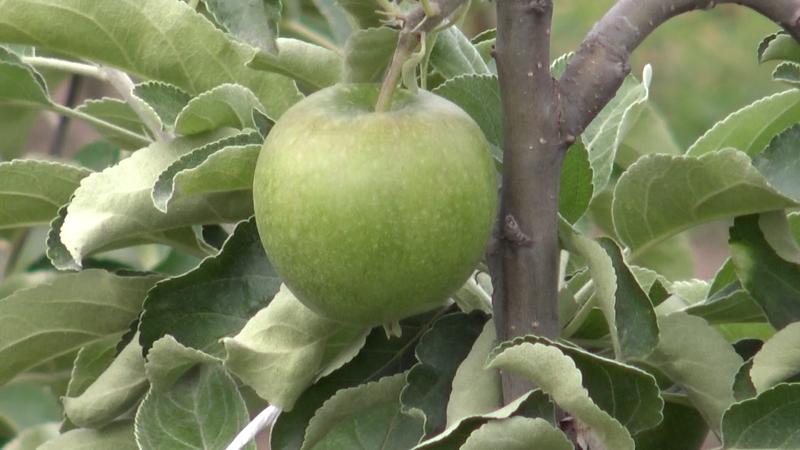 Ima voća, nema berača