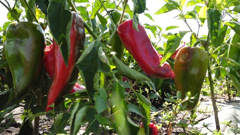 Organskom poljoprivredom obezbeđuju egzistenciju