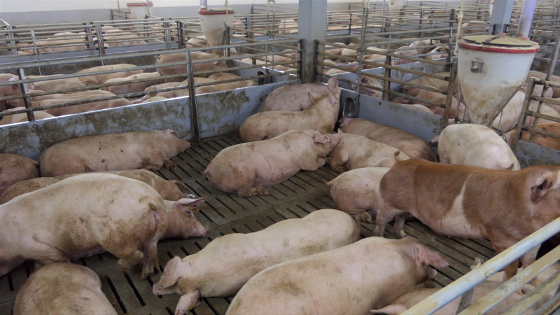 Tov svinja se isplati, kada se radi bez kalkulacija