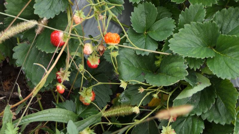 Ohrabruje što sve više mladih podiže zasade jagoda