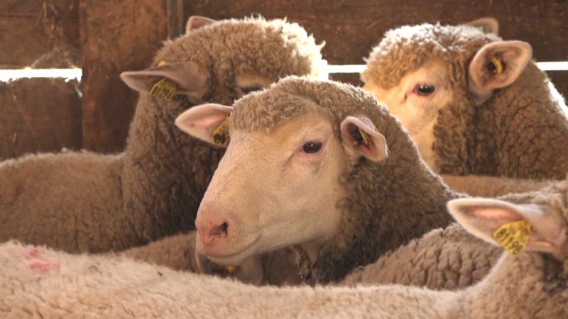 Umatičene ovce skuplje, ali dugoročno isplativije