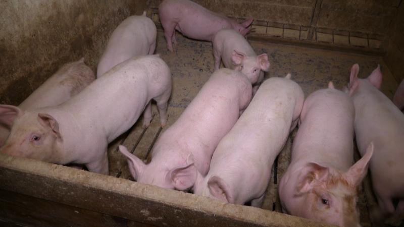 Crveni alarm nad svinjarstvom