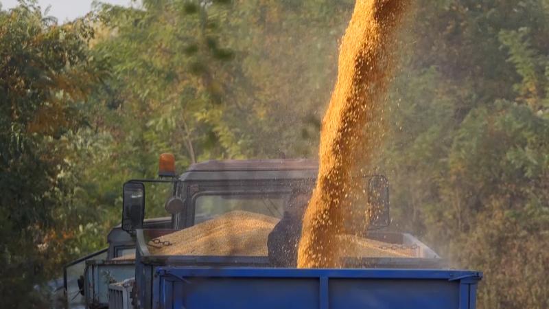 Kašnjenje jesenje setve ozimih strnih žita