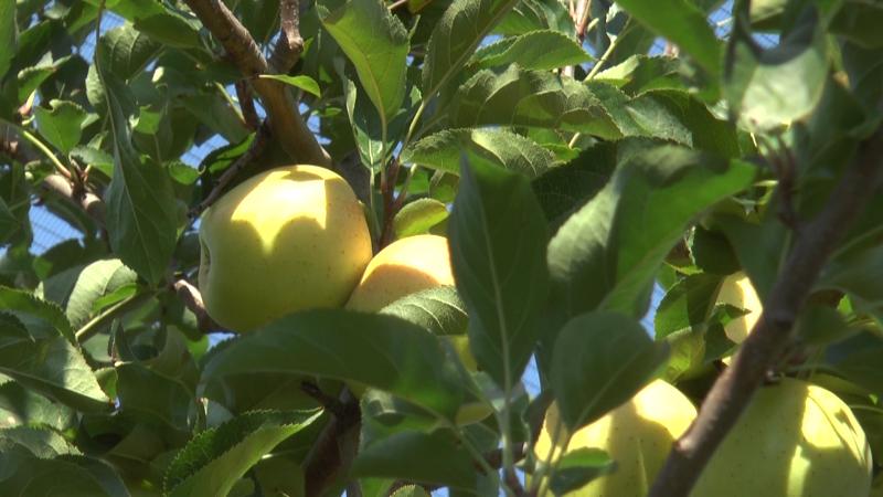 Plantaže jabuka na obroncima Rudničkih planina