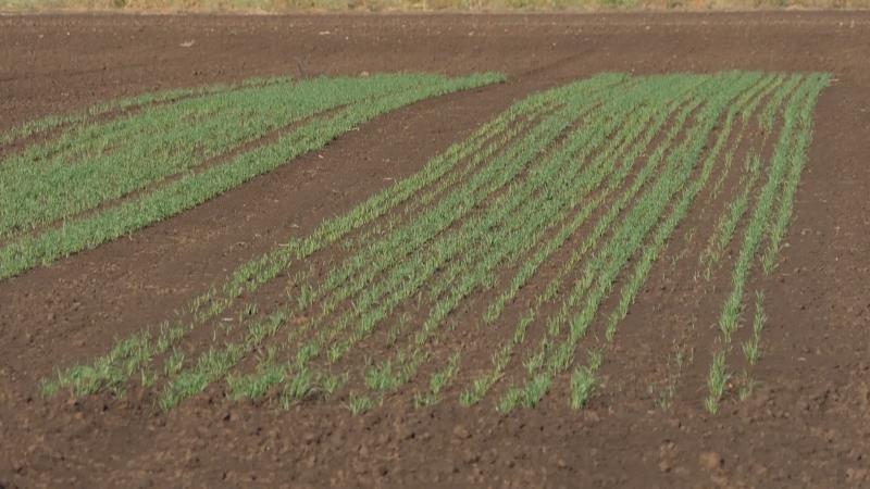 Pšenica još nije dospela u fazu bokorenja