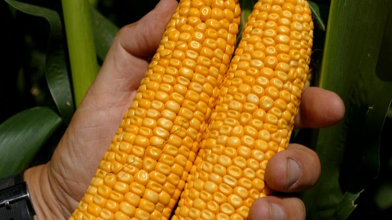 Naš kukuruz za njive u Kongu