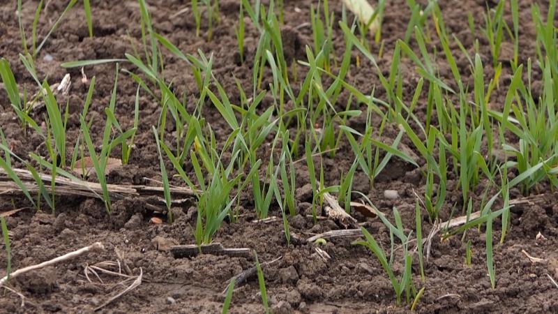 Ko štedi na semenu žanje gubitak