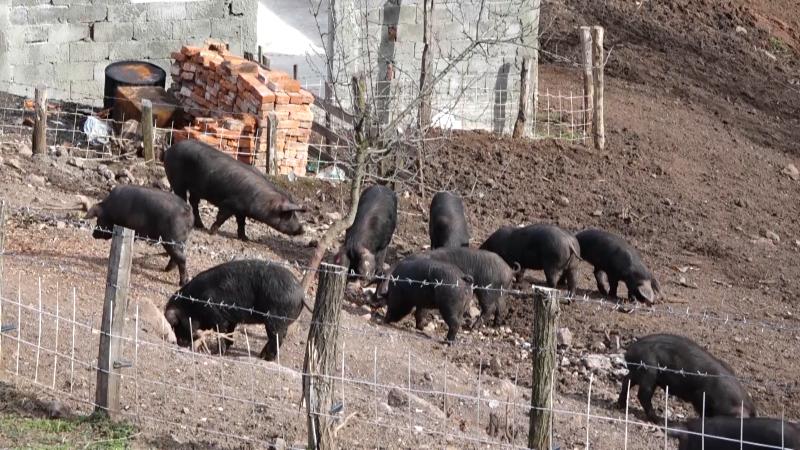 Nije pronađen virus afričke kuge svinja u cirkulaciji