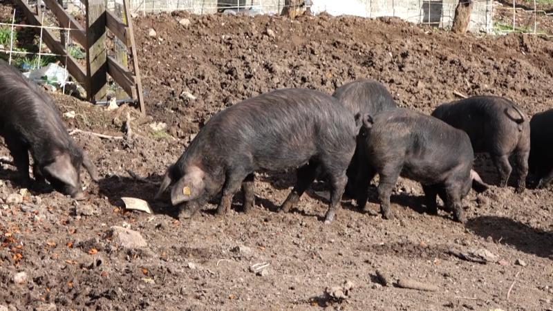 Broj svinja je smanjen, a beleži se porast proizvodnje mesa