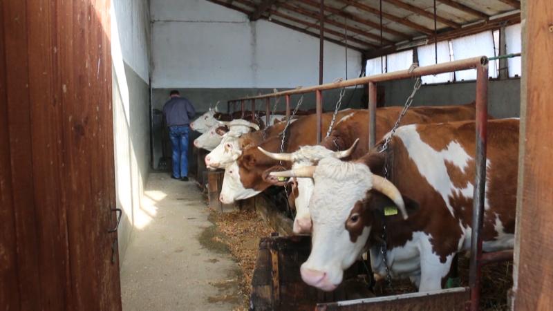 Mlečno govedarstvo može biti isplativo