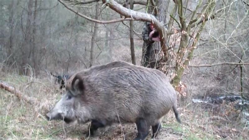 Svaki odstrel ili uginuće divlje svinje obavezno prijaviti