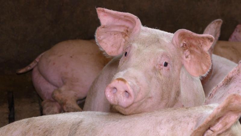 Nije prijavljen nijedan slučaj afričke kuge kod domaćih svinja