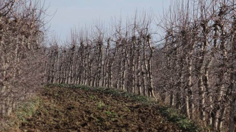 Sadašnje dnevne temperature mogu da naude voću