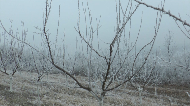 Na severu Banata sve manje plantaža pod kajsijom