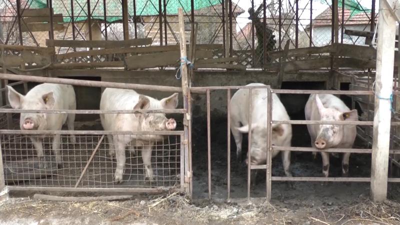 Hrana za svinje ispod svog kamena
