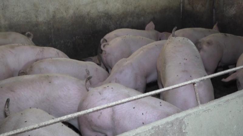 I dalje veliki uvoz svinja