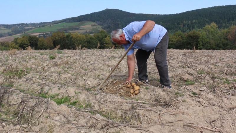 Setva krompira u Guči privodi se kraju