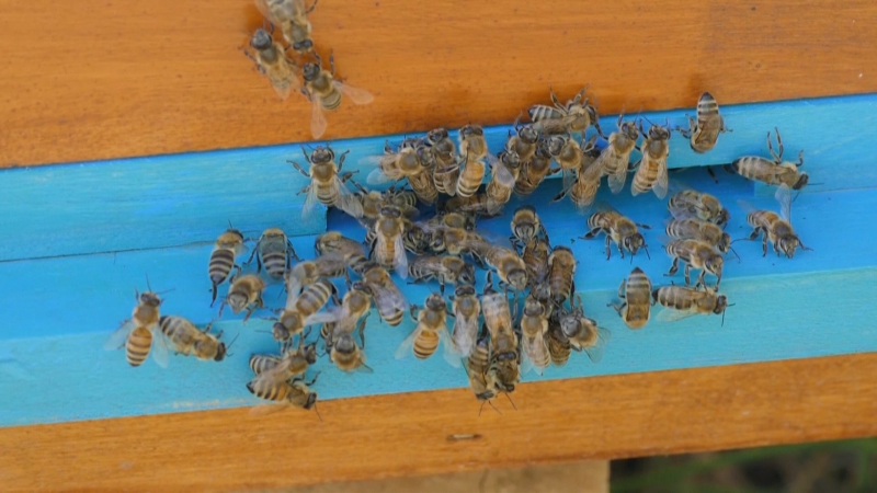 Pčele u Srbiji ponovo stradaju
