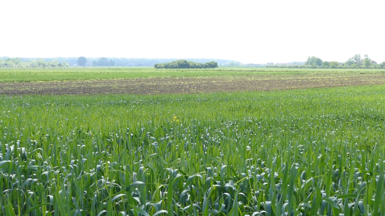 Najžednija pšenica