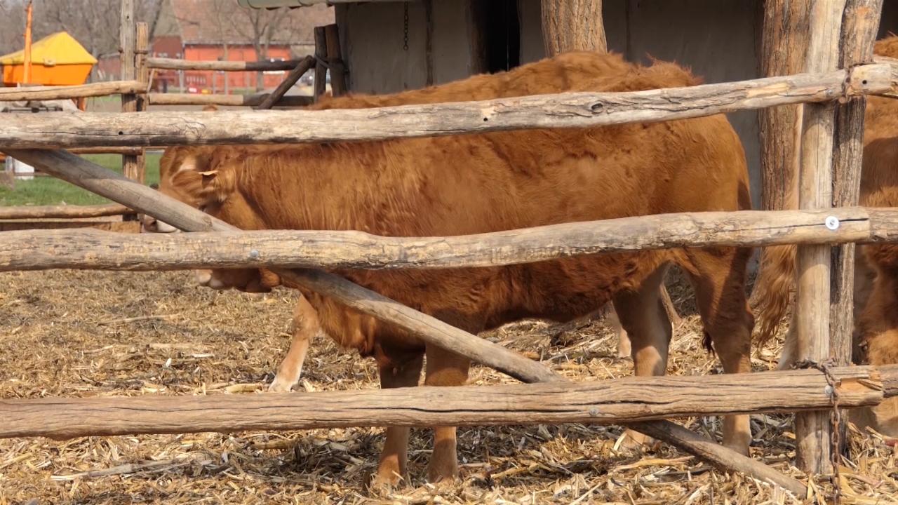 Raste interesovanje za tovno govedarstvo