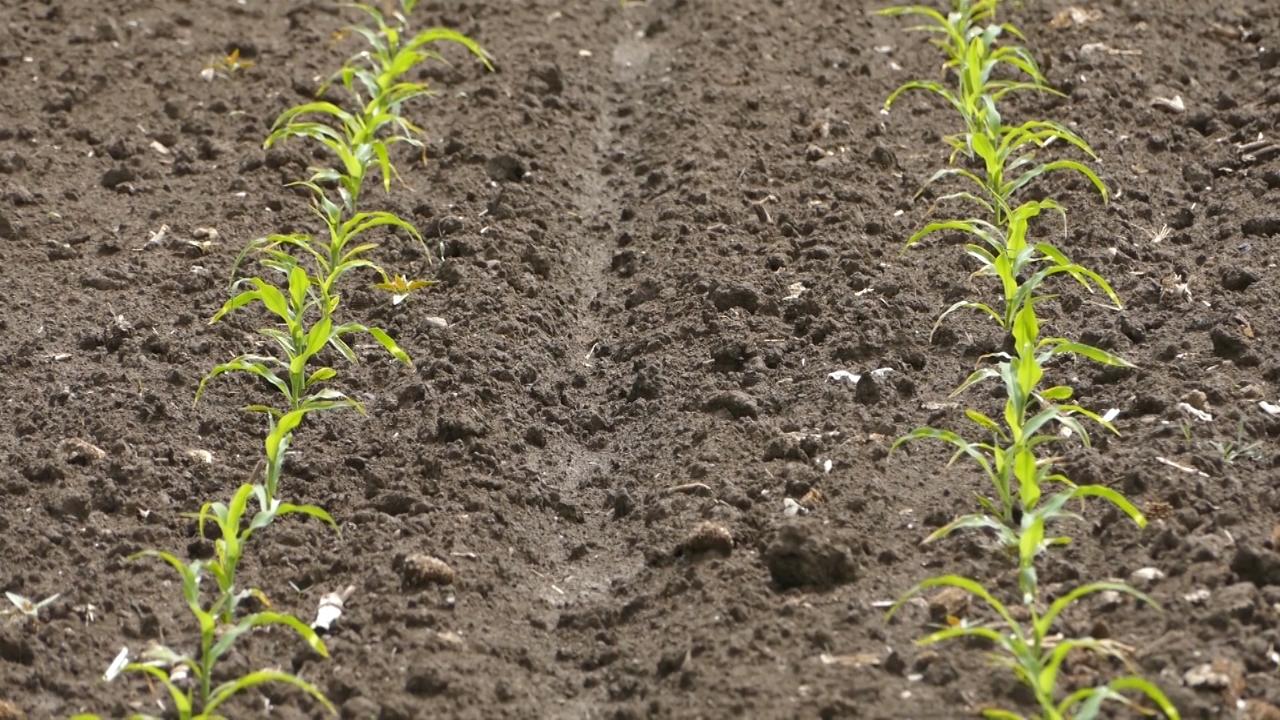 Suša smanjuje prinos poljoprivrednih kultura