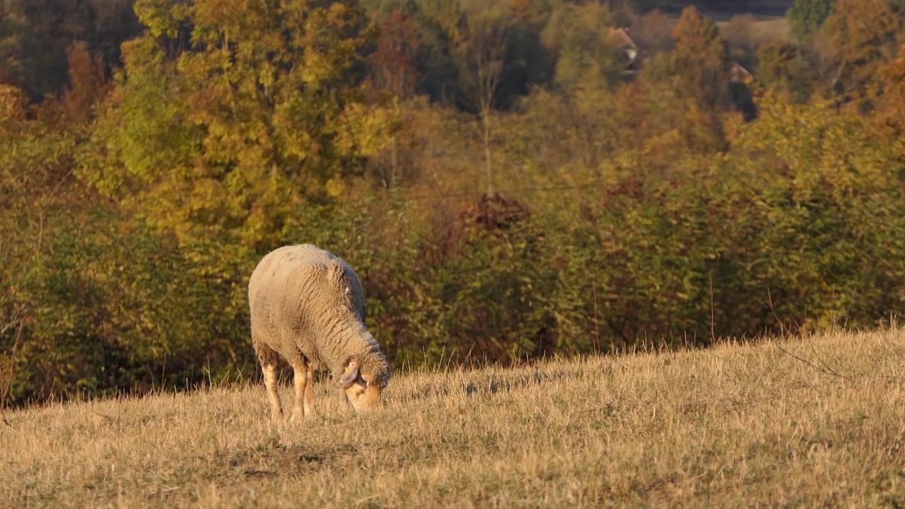 Moderna farma ovaca