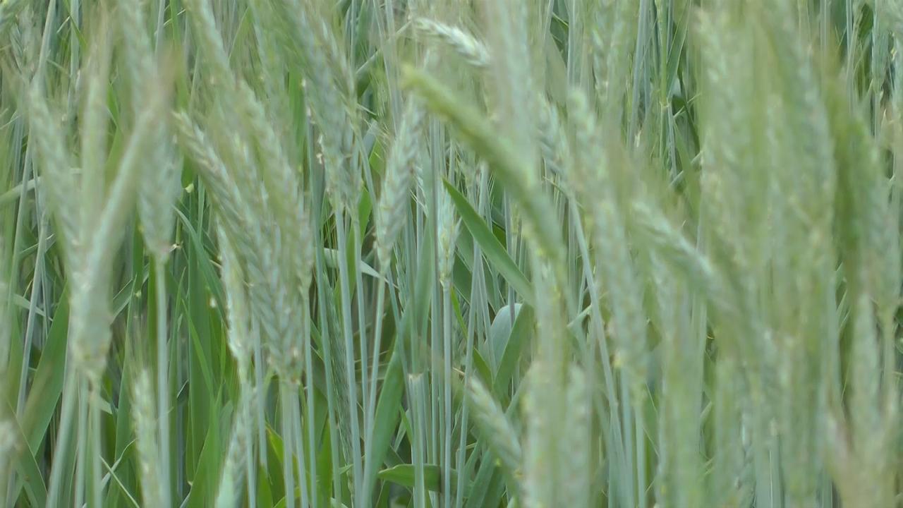 Do 9 tona pšenice na oglednom polju u Aleksincu