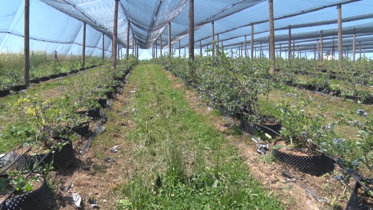 Dobra cena i odličan kvalitet borovnice