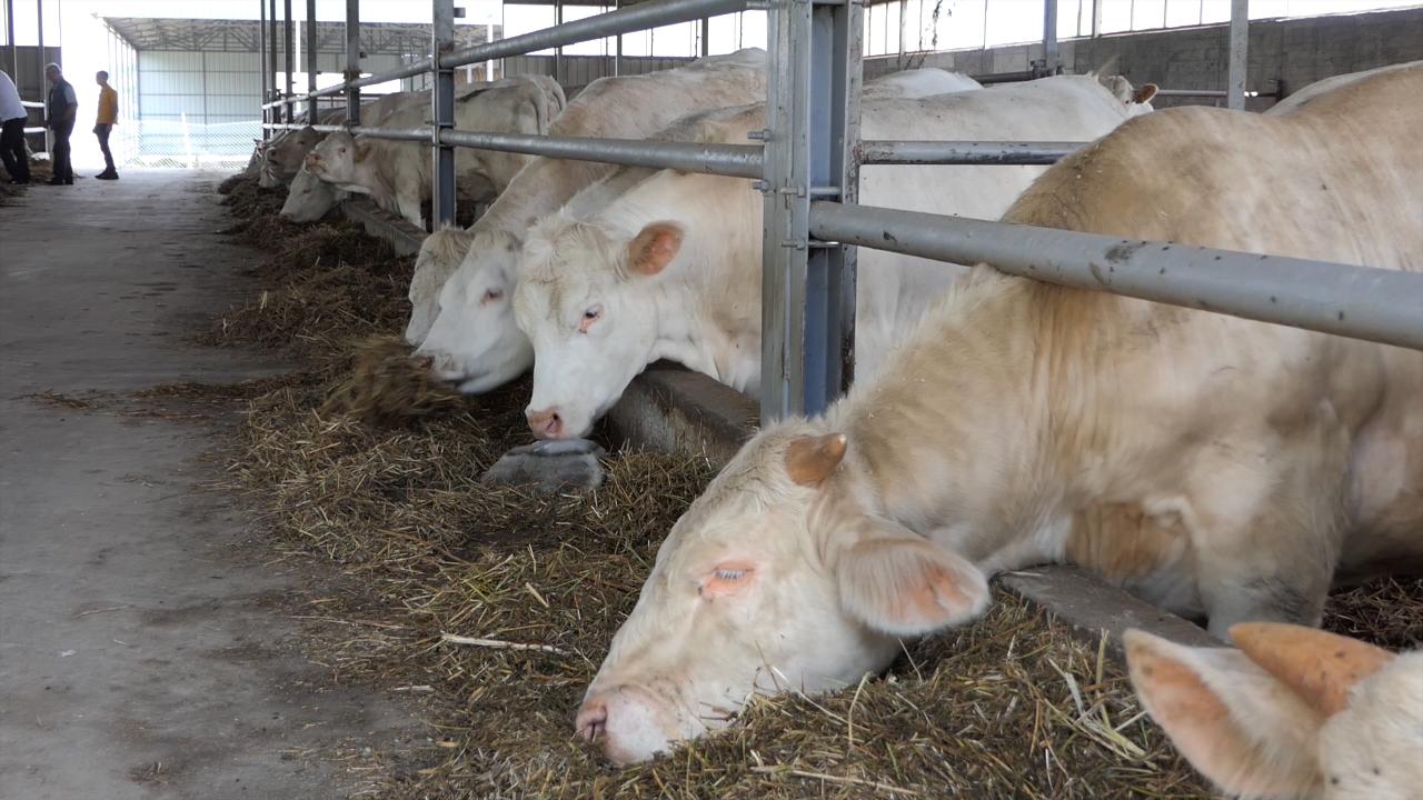 Šarole rasa pogodna za tov u sistemu krava - tele