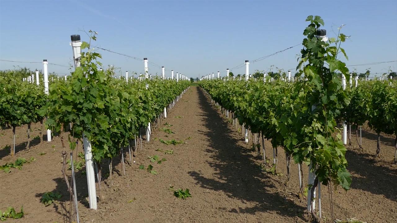 Simptomi plamenjače gotovo u svakom vinogradu