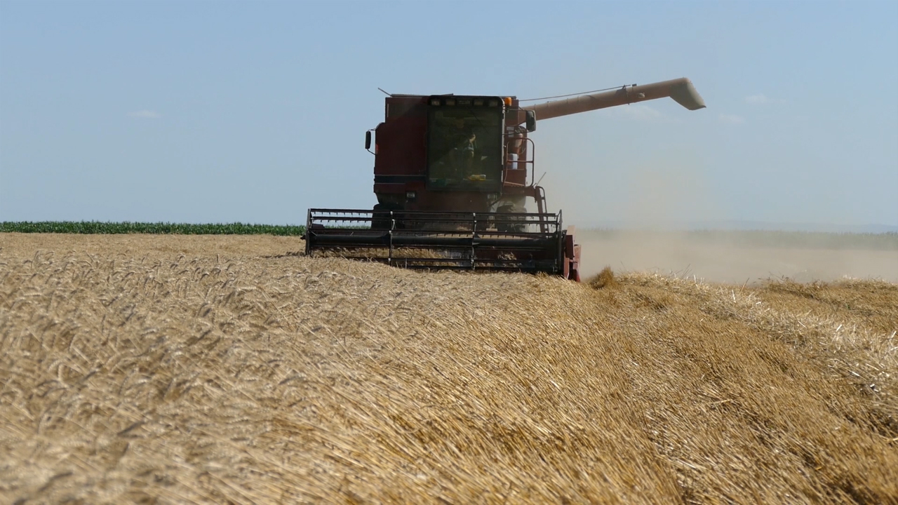 Ove sedmice padaju poslednji snopovi pšenice