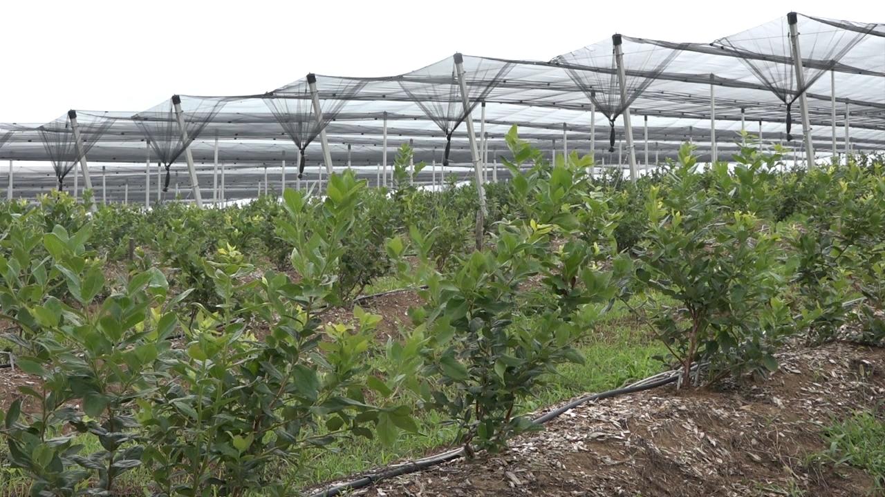 Potrebno zaštiti plantaže borovnice