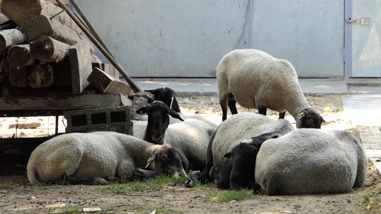 Romanovska ovca premašila očekivanja