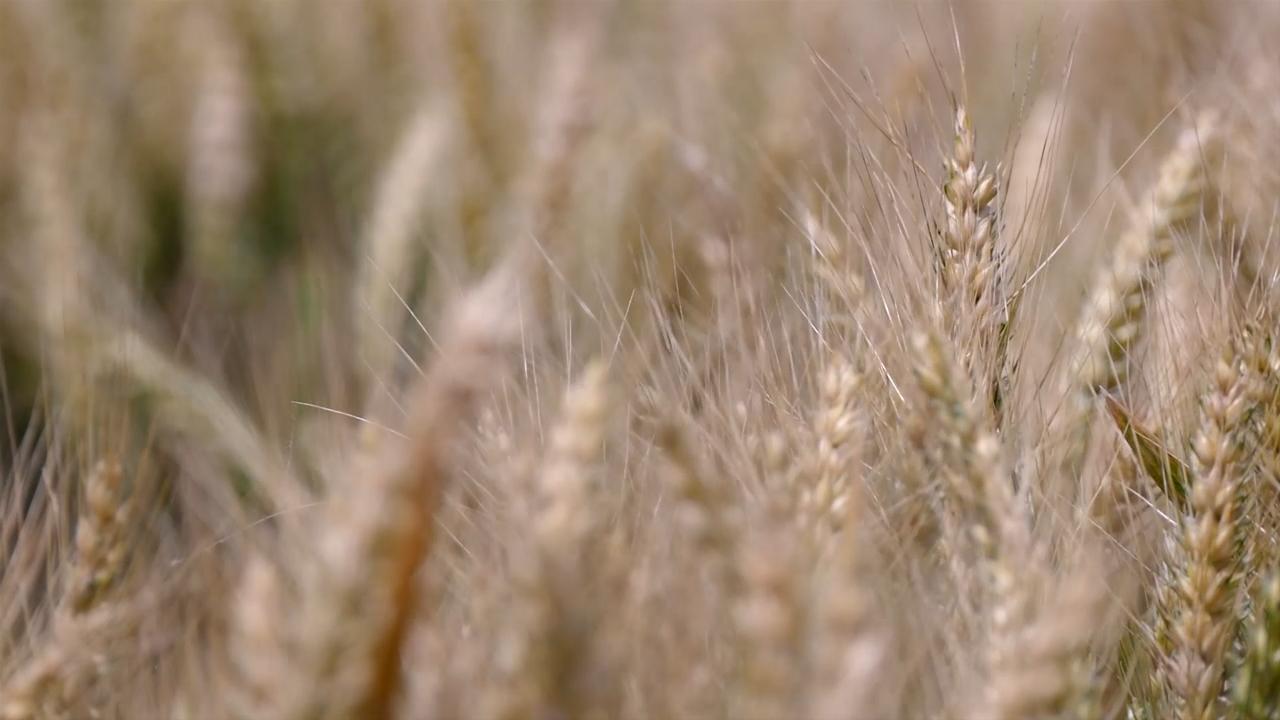 Cena pšenice ostala ista