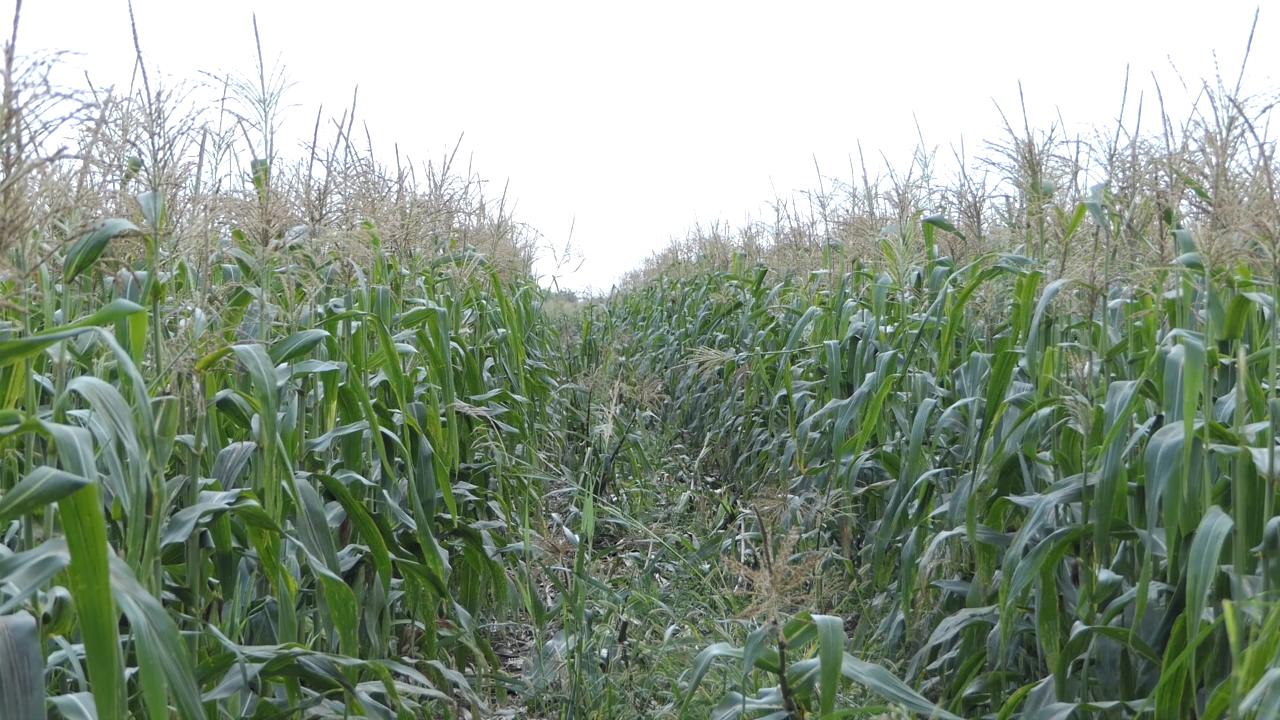 Kukuruz šećerac sve popularniji u Srbiji